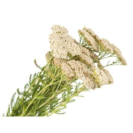 Yarrow How to Plant Grow and Care for Yarrow  The Old